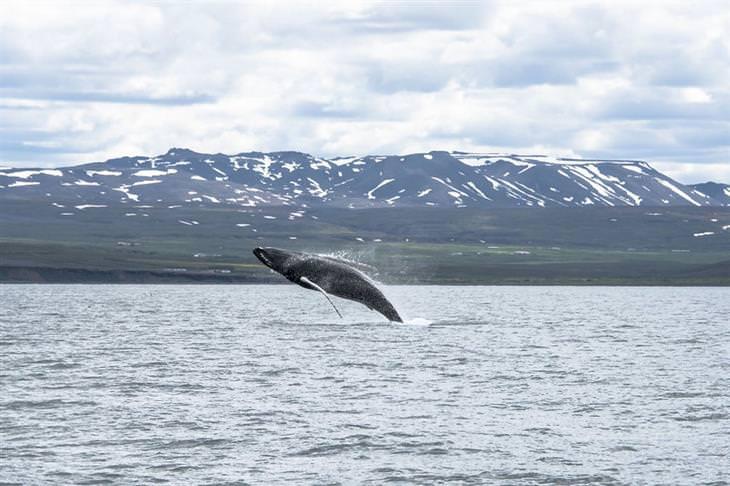 לווייתן קופץ בתוך מים