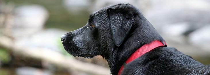 תרופות סבתא לחתולים וכלבים: כלב עם קולר