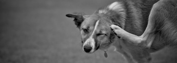 תרופות סבתא לחתולים וכלבים: כלב מתגרד