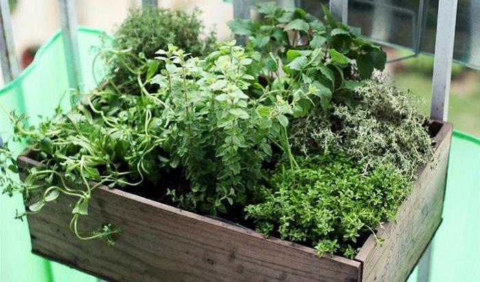 מדריכים לטיפול בגינה הביתית: צמחי תבלין