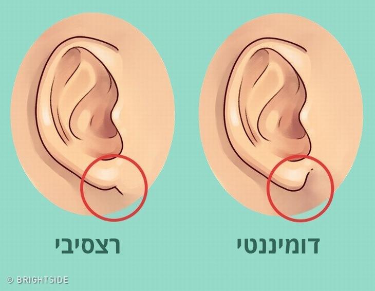 איור של אוזן עם גן דומיננטי לעומת אוזן עם גן רצסיבי
