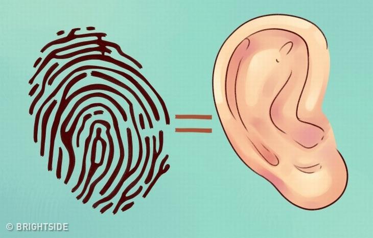איור של אוזן השווה לטביעת אצבע