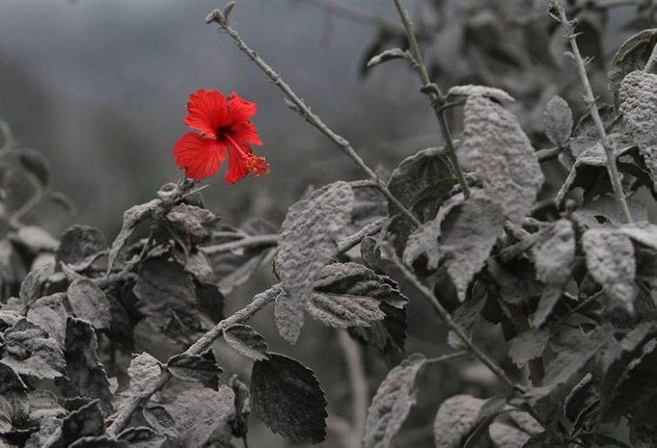היביסקוס אדום על רקע צמחיה שחורה מהתפרצות געשית