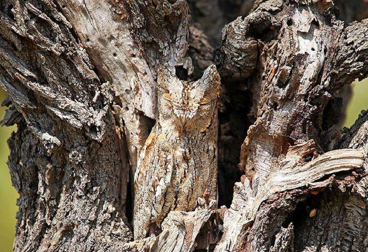 אוח מסתווה על גזע עץ