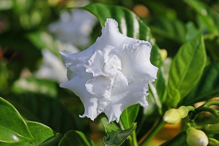 12 הצמחים שיבשמו את הגינה והבית: גרדניה