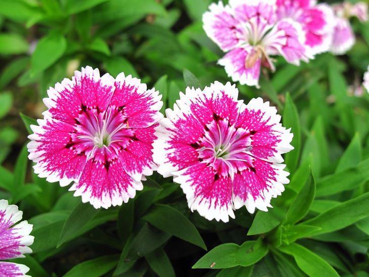 12 הצמחים שיבשמו את הגינה והבית: ציפורן