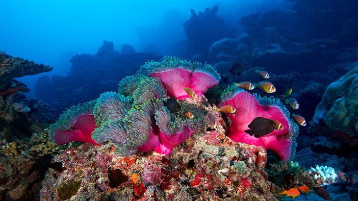 שונית האלמוגים של האיים המלדיביים - Maldives reef