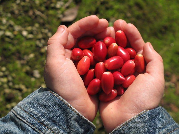 ידיים מחזיקות חופן של פרי הפלא