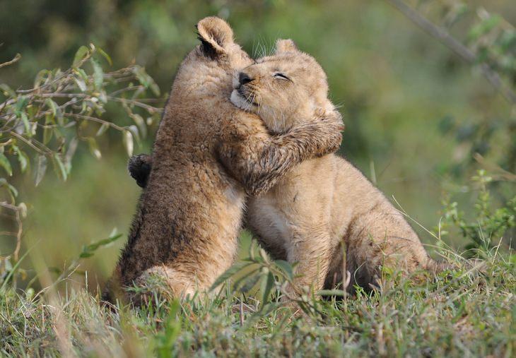2 גורי אריות מחובקים