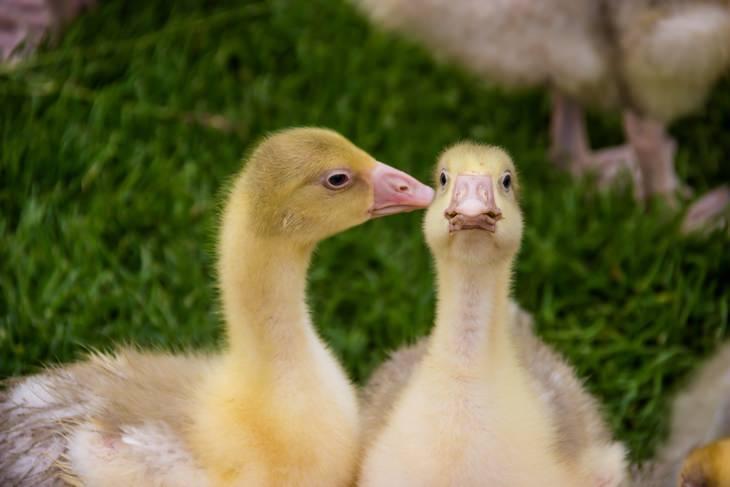 שני ברווזים קטנים