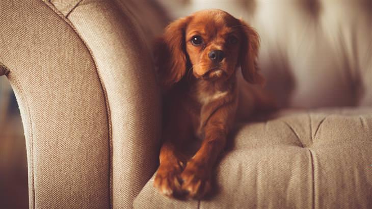 הסרת כתמי שתן: כלב יושב על ספה