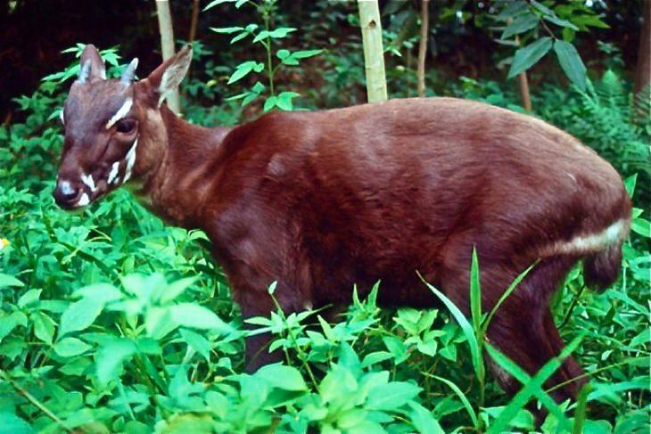 חיות נדירות ומוזרות: סאולה (חד קרן אסייתי)