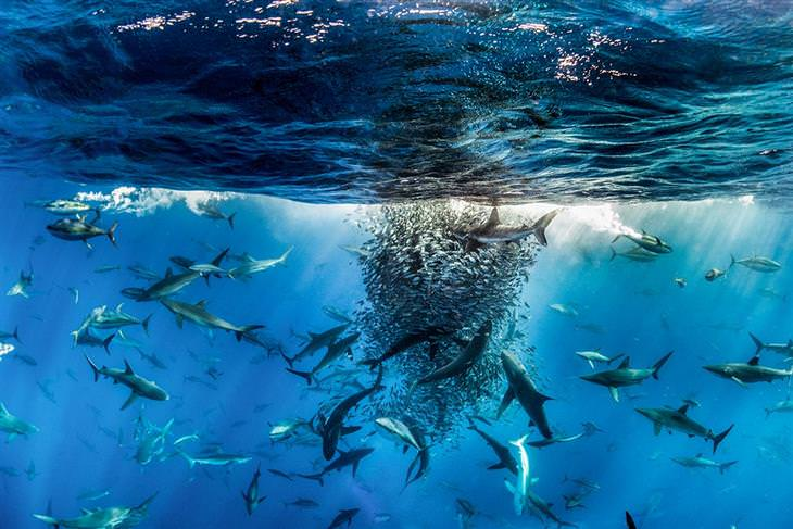 תמונות מתחרות צילום טבע:  צילום תת ימי של להקת כרישים גדולה