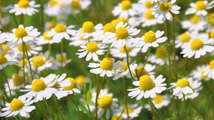 צמחים שמשפרים את התפקוד המוחי: פרחי קמומיל
