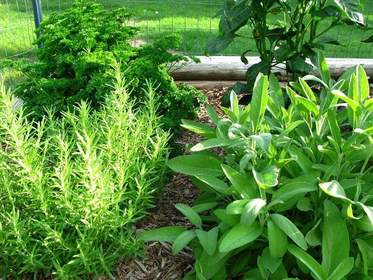 צמחים שמשפרים את התפקוד המוחי: גינת תבלינים