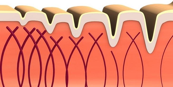 תפקידי חלבון הקולגן: tאיור של קולגן ברקמת עור