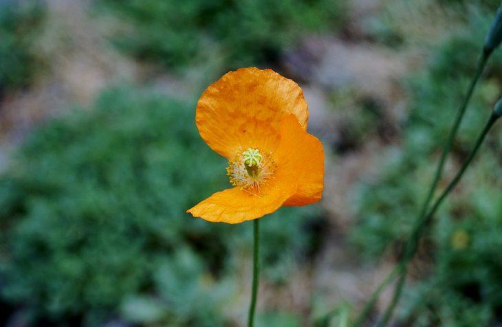 פרח ללא עלה כותרת אחד