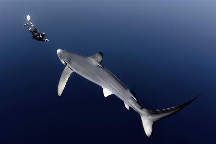 תמונות אקסטרים: צוללן שוחה מול כריש