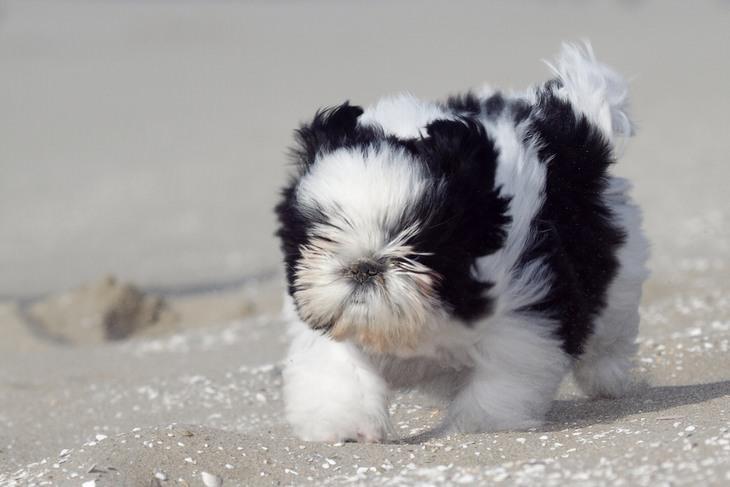 כלבים זעירים: צ'ין יפני