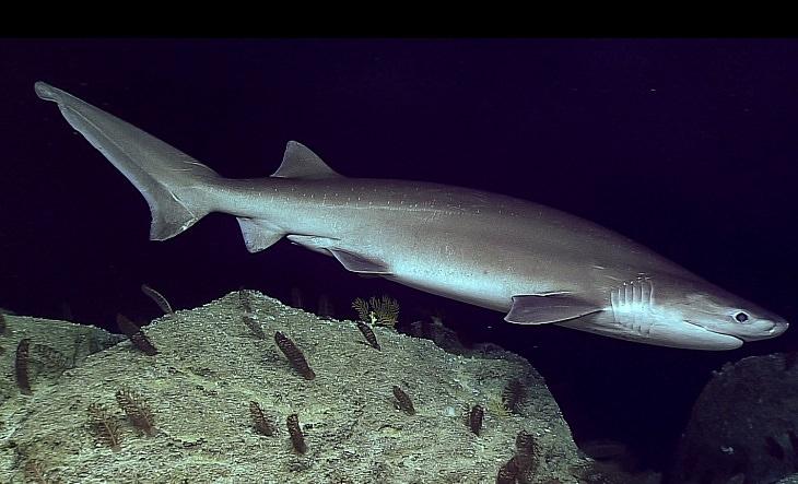 יצורים ממעמקי הים: כריש הפרה
