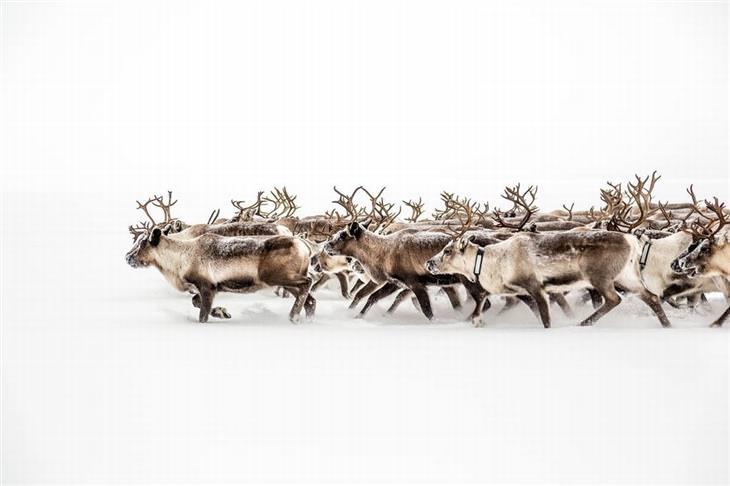 תמונות מדהימות של טבע ונוף: איילי צפון בשבדיה