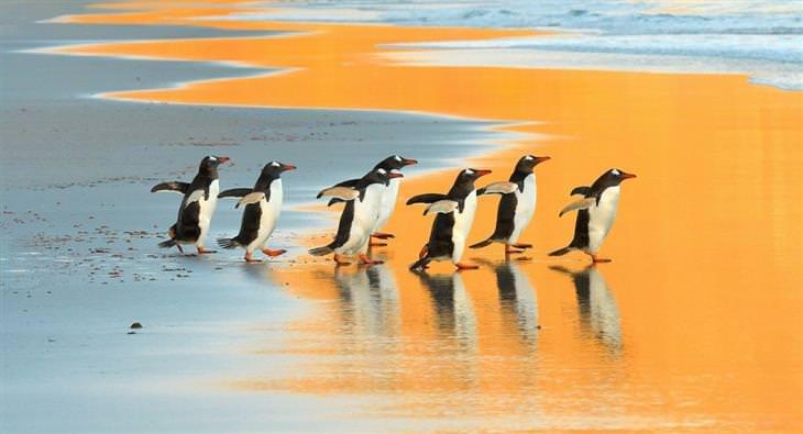 תמונות מדהימות של טבע ונוף: פינגווינים לבני-אוזן באי סונדרס