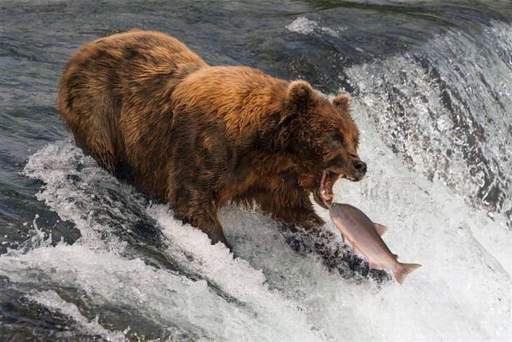 תמונות מדהימות של טבע ונוף: דב גריזלי אוכל סלמון באלסקה