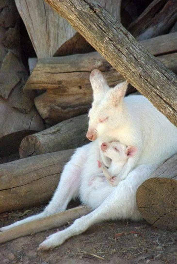 חיות חמודות שיעשו לכם את היום: אמא קנגורו לבקנית מחבקת את בנה הלבקן