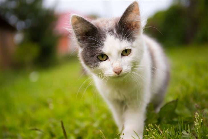 מחלות שחיות המחמד יכולות להעביר אלינו: חתול הולך על דשא