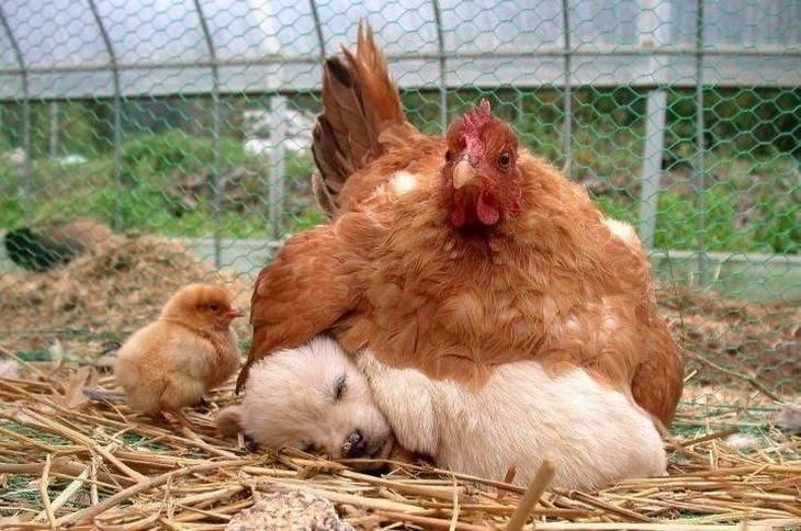 חיות חמודות שיעשו לכם את היום: תרנגולת דוגרת על כלבלב קטן שישן
