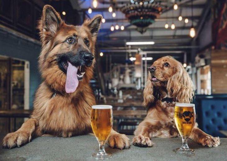 מקומות עבודה מפנקים: כלבים יושבים מול שולחן עם כוסות בירה