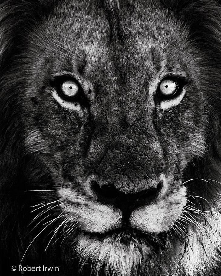 תמונות טבע של רוברט ארווין - אריה