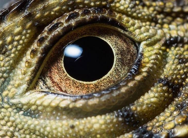 תמונות טבע של רוברט ארווין: עין של תנין