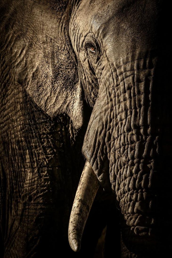 תמונות טבע: צילום תקריב של פילה בקניה