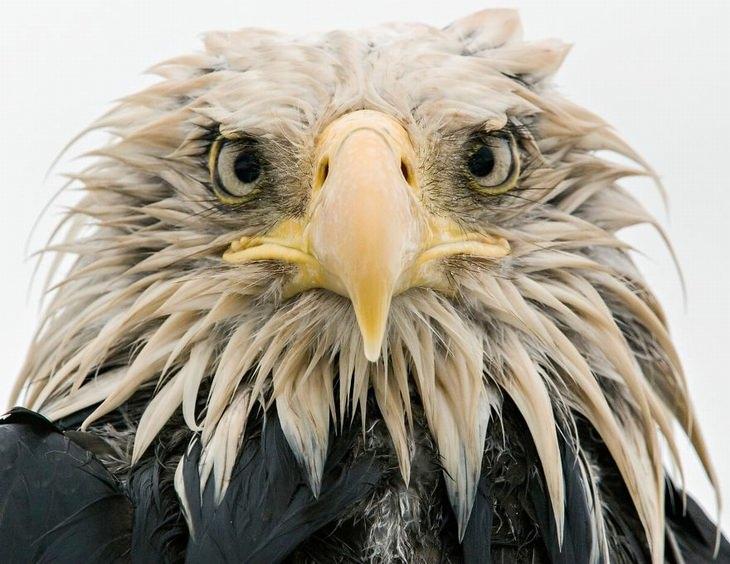 תמונות טבע: צילום תקריב של עיטם לבן-ראש באלסקה