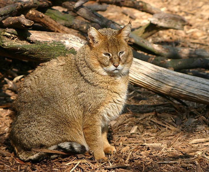 טורפים שחיים בישראל: חתול ביצות