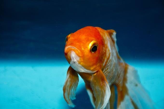 מבחן אישיות: דג זהב במים
