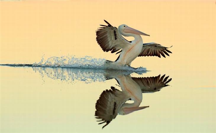 תמונות מתחרות צילום הציפורים של הקרן הבריטית לצפרות: שקנאי נוחת במים ותחתיו השתקפותו