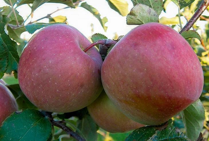 מדריך זנים של תפוחים: פוג'י