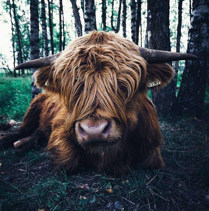 צילומי חיות ביער פיני מושלג: פר