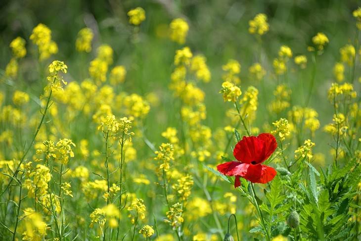 ממנה נובעת ביקורת עצמית וכיצד להפסיק אותה: כלנית אדומה פורחת בשדה בין פרחים צהובים