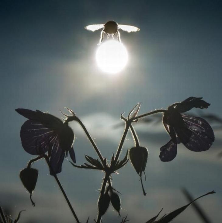 תמונות שצולמו ברגע הנכון: דבורה שנראית כאילו היא נושאת את השמש