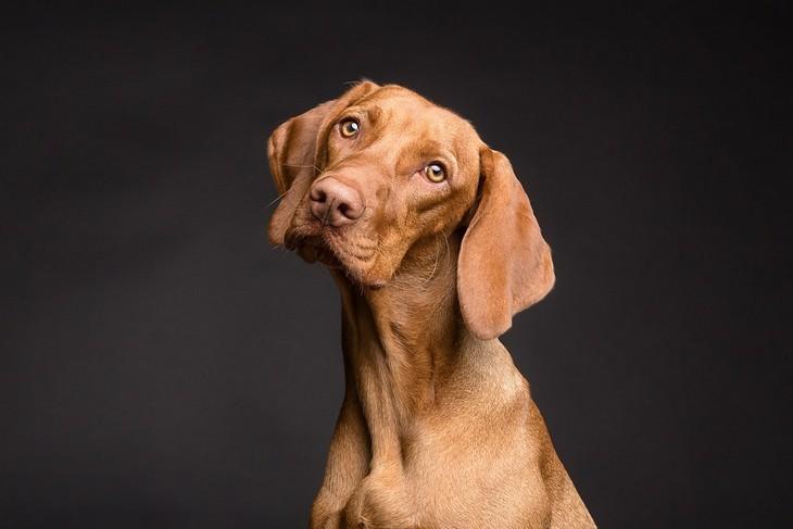סימנים שהכלב שלכם חכם: כלב מסתכל למצלמה עם ראש מוטה הצידה