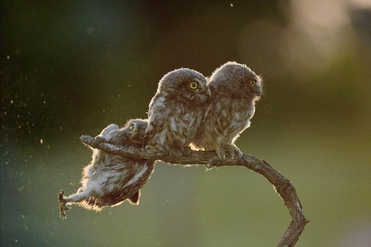 תמונות שצולמו ברגע הנכון: ינשופים על גזע עץ, שאחד מהם בדיוק מחליק ונופל
