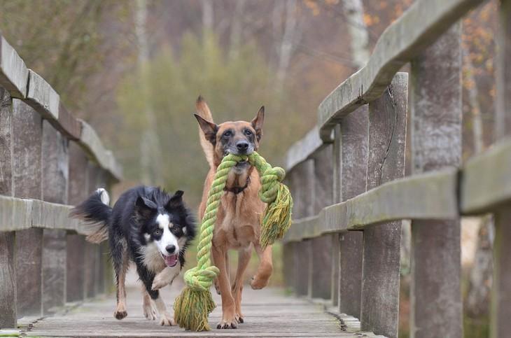 סימנים שהכלב שלכם חכם: שני כלבים רצים על גשר כשלאחד מהם יש חבל בפה