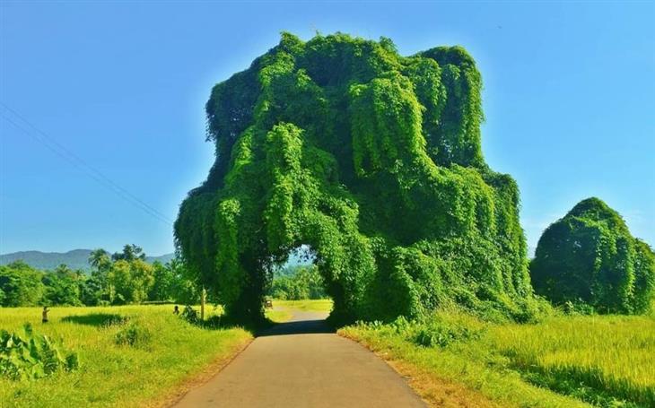 תמונות טבע מדהימות: עץ מנגו ענק