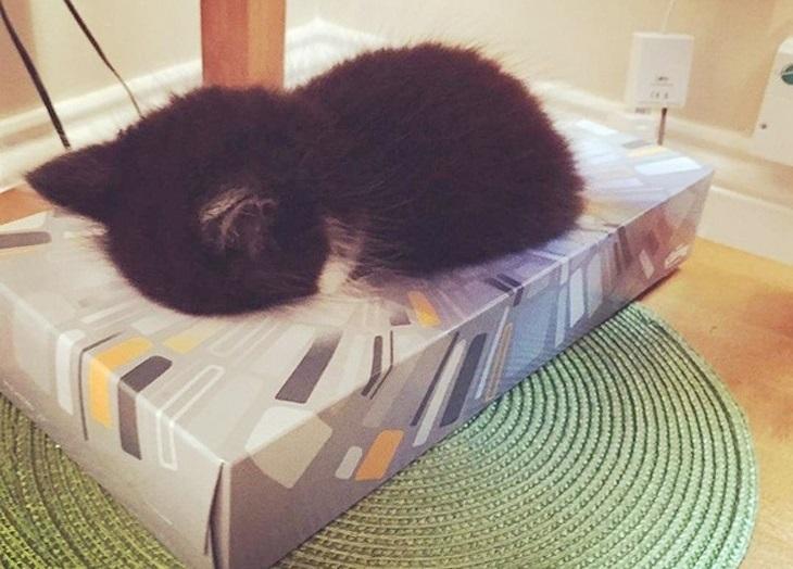 18 חיות שישנות במצבים מצחיקים: חתלתול ישן בתוך קופסת טישיו