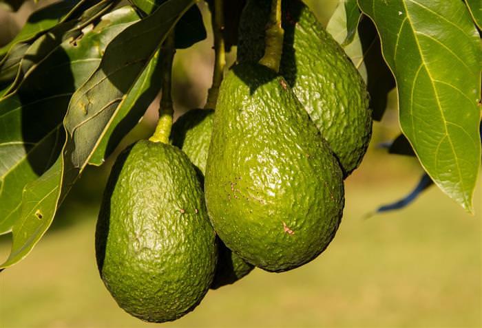 יתרונות בריאותיים של אבוקדו: אבוקדו על עץ