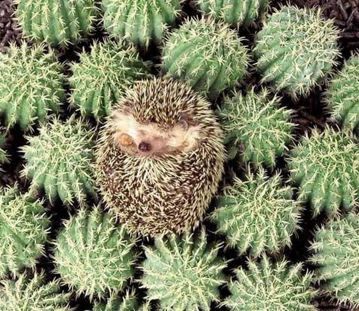 18 חיות שישנות במצבים מצחיקים: קיפוד ישן על קקטוסים קטנים