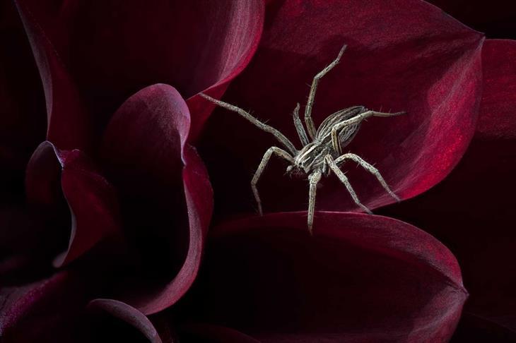 תחרות צילום הטבע הבריטית: עכביש על עלי כותרת של פרח